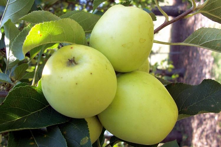 лонгория тоже старые сорта яблонь фото с названием также небольшой фонтан