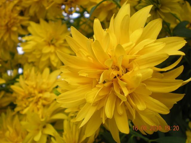 Rudbeka Golden Glow Wysokie Kwiaty Do 2m Sadzonki
