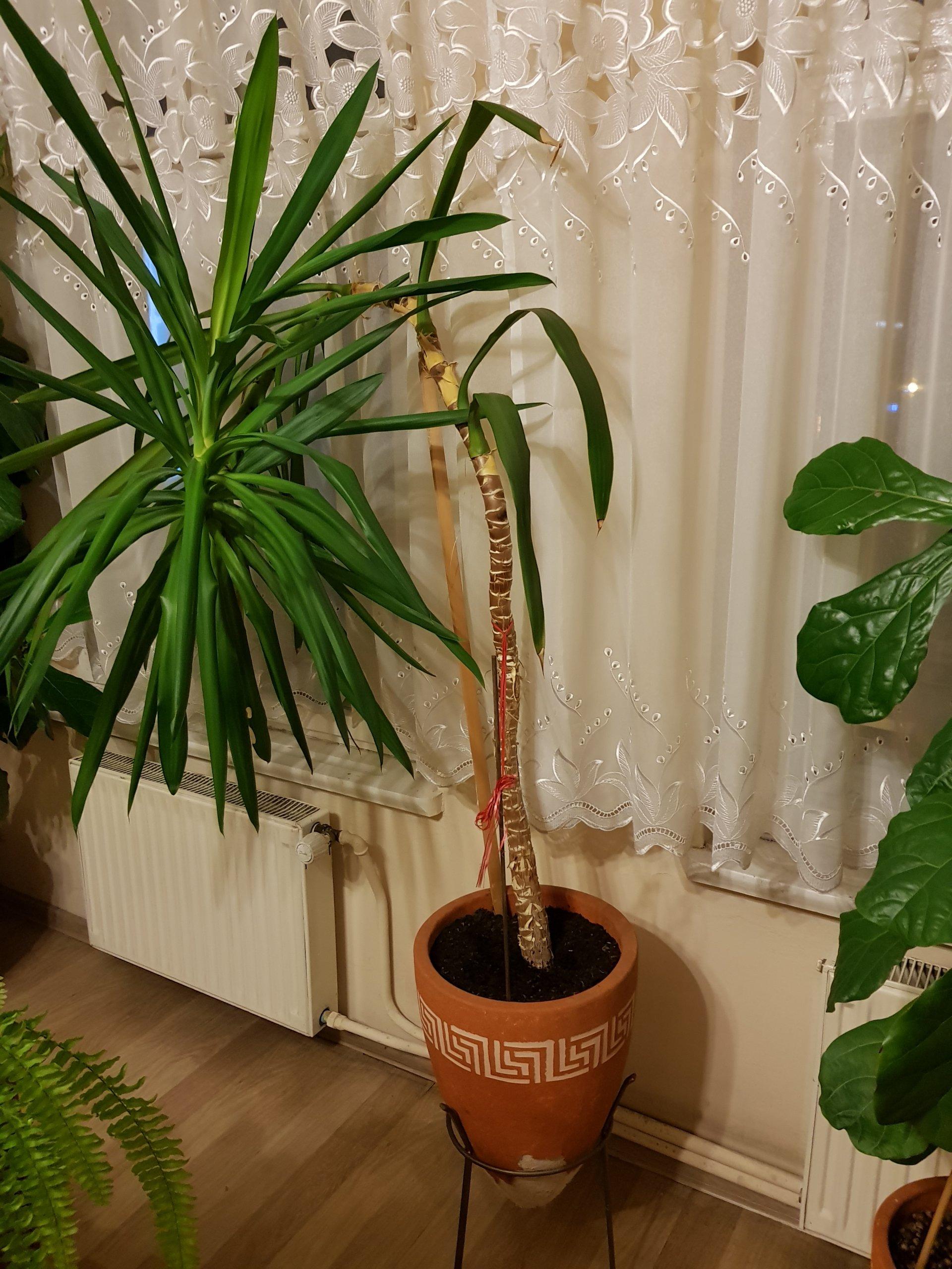 Duże Kwiaty Doniczkowe Około 2 Metry 7106405830 Oficjalne