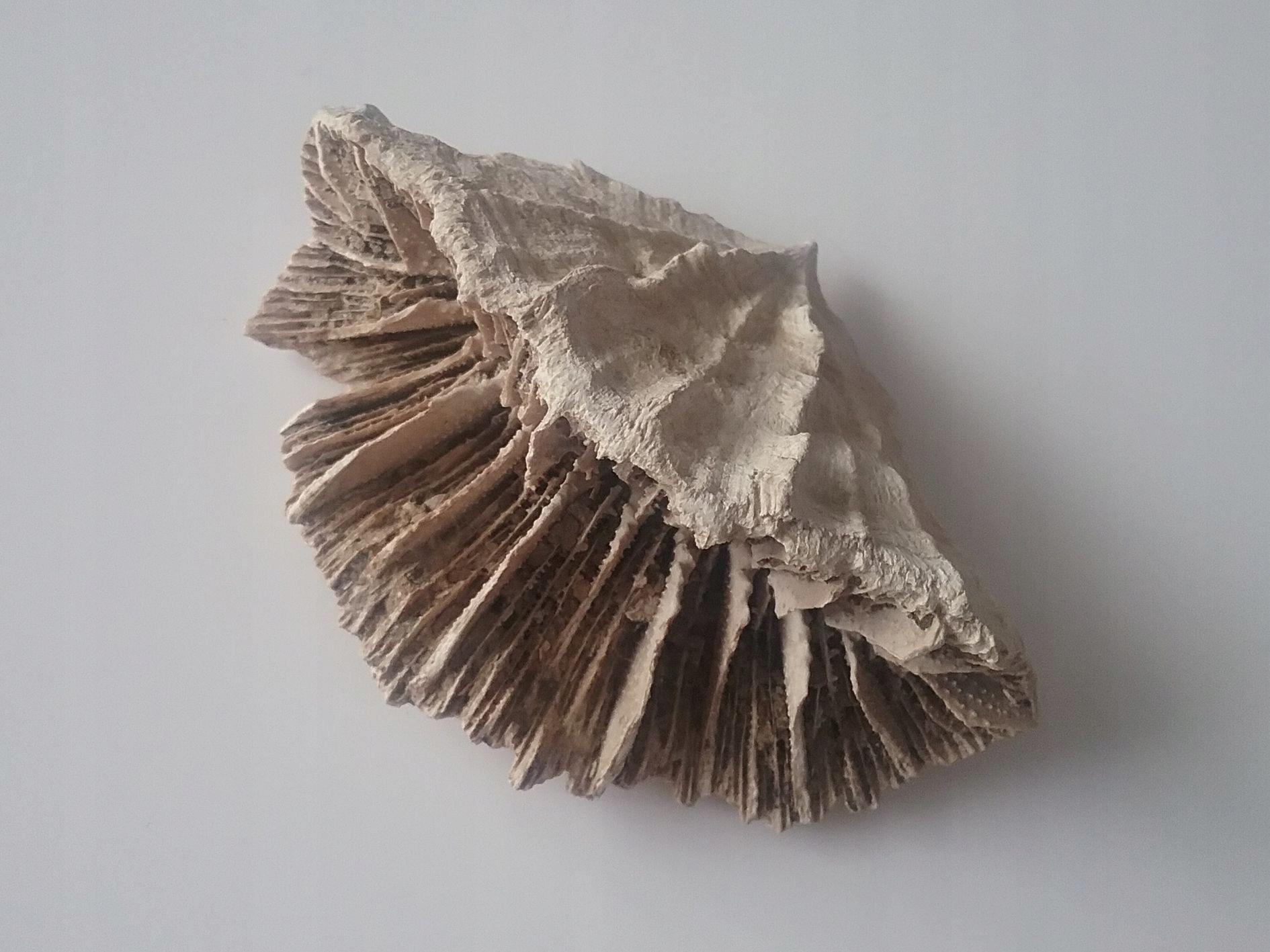 Koralowiec osobniczy  Flabellum. Korytnica,Miocen