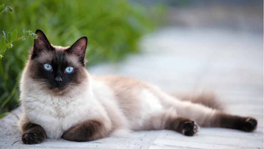 Kot syjamski – inteligentny towarzysz człowieka, który nienawidzi nudy