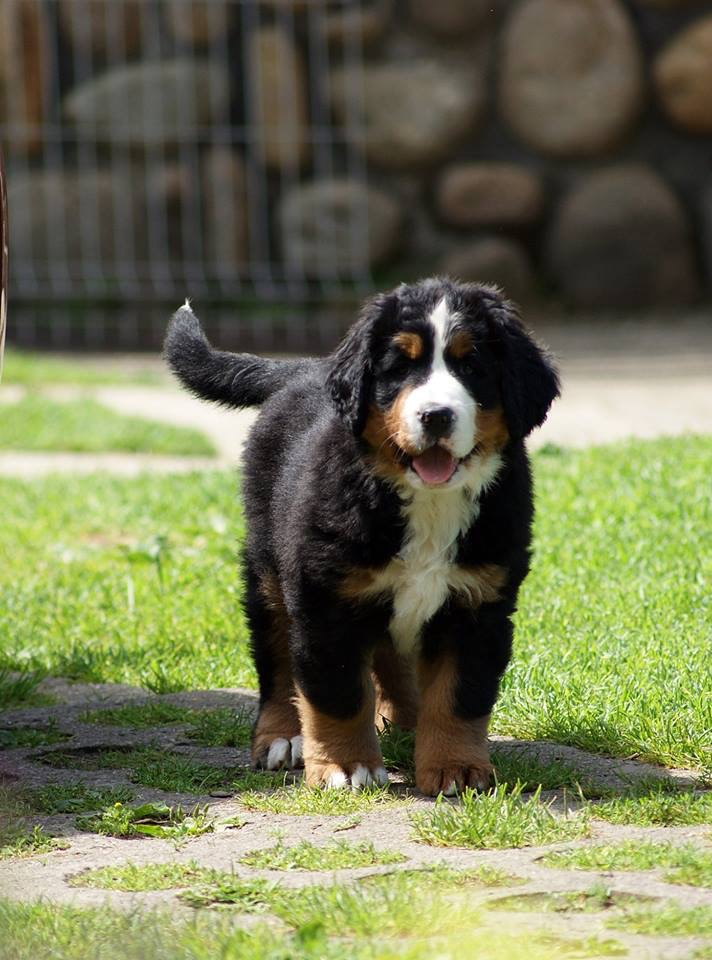Bernenski Pies Pasterski Szczeniaki 7405436820 Oficjalne Archiwum Allegro