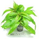 Rośliny do akwarium Hygrophila salicifolia ŁATWA