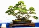 Sosna hakowata wielodoniczka bonsai. ogród, styl Waga (z opakowaniem) 0.03 kg