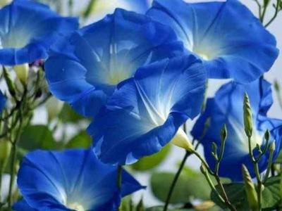 НЕБЕСНАЯ РЕПТИЛИЯ - Heavenly Blue - Ipomoea