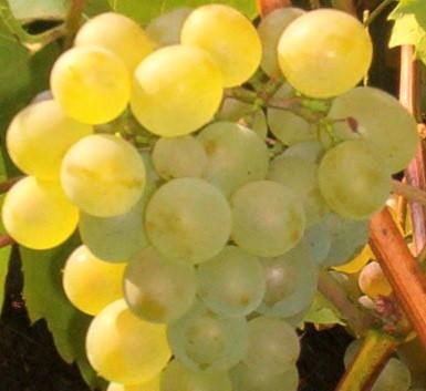 Виноград 'Bianca' - виноград на наш климат