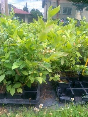 Borówka Vaccinium patriot Bluecrop dużo odmian